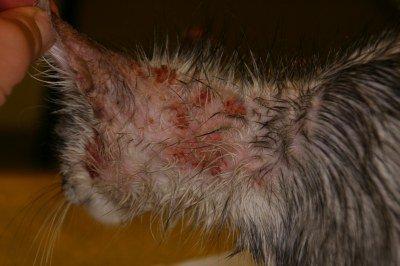 Hautausschlag Katze